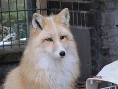 Beautiful domesticated Fox. We had pet foxes when I was little, arctic and a red fox. . . they were friendly but still wild. . . would love to meet one of these
