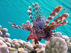 Pterois miles Devil firefish Крылатка воин.