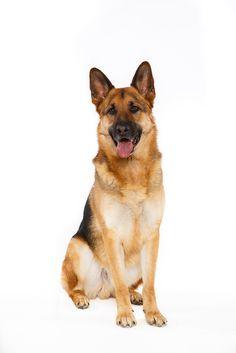 German Shepherd Guard Dog Breeds, Lion Art, Schaefer, Dog Paintings, Dog Portraits, Dog Quotes, Doberman, German Shepherd Dogs, Happy Dogs