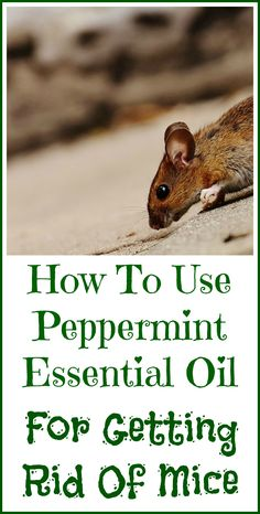 Mice how to get rid of mice fast like a farmer does 11813 this peppermint oil for getting rid of mice ccuart Image collections