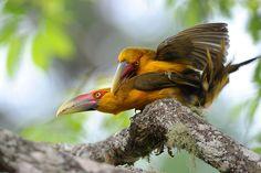 Foto araçari-banana (Pteroglossus bailloni) por Joao Quental | Wiki Aves - A Enciclopédia das Aves do Brasil