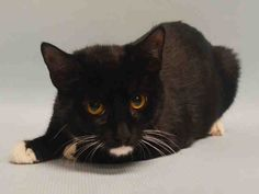 """LUCY - A1061206 - - Manhattan  ***TO BE DESTROYED 01/06/16***YOU WILL LOVE LUCY THE KITTEN—BE HER HERO! A staff member writes, """"Lucy is a 6 month old female domestic short hair mix. According to her previous owner Lucy is friendly and outgoing, and is gentle and loves to play around adults. She has never been around children. As a young kitten Lucy has a very high energy level, and could often be found napping on her owners couch or lazing about in the sunshine. She is"""