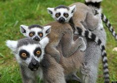 Who doesn't like baby Lemurs?
