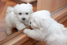 Funny Dogs, Cute Dogs, Cute Babies, Cute Baby Animals, Animals And Pets, Bichon Bolognese, Bichons, Bichon Frise, Baby Puppies