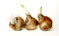 Narcissus bulbs -Elaine Searle