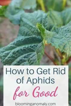 Aphids On Plants, Plant Pests, Garden Pests, Cucumber Plant, Cucumber Trellis, Aphid Spray, Flowering Shade Plants, Plants Grown In Water, Get Rid Of Aphids