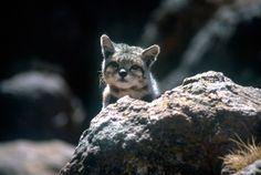 La Alianza Gato Andino dedica sus esfuerzos para proteger a este hermoso felino.