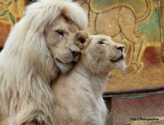 Cute lion king and lioness❤️❤️❤️ ____________________________________________________ PhotoCredits: Unknown please help us to find the original owner. Nature Animals, Animals And Pets, Baby Animals, Cute Animals, Wildlife Nature, Wild Animals, Lion Love, Cute Lion, Beautiful Cats