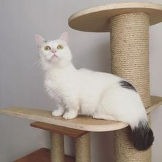 adorable munchkin Gato Munchkin, Cute Cat Breeds, Animals, Breeds Of Cats, Softies, Bebe, Cats, Animales, Animaux