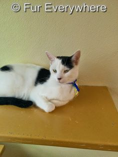 Fur Everywhere: Opt to Adopt: Catarina is 2 years old.  Cat Care Society, Lakewood, CO