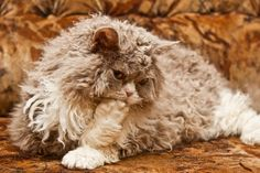 The Selkirk Rex originated in Montana, USA in 1987, with a litter by a rescued cat. The only unusually coated kitten in the litter was bred to a black Persian male, producing three Selkirk Rex and three straight-haired kittens. This demonstrated that the gene had an autosomal dominant mode of inheritance. All Selkirk Rex trace their ancestry back to Miss DePesto.