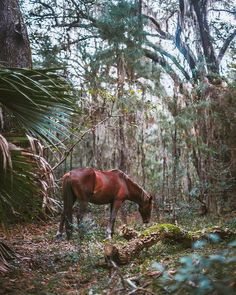 A feral horse grazing the little it can find in the back country of Cumberland Island. These horses are tough as nails #travel #liveauthentic #CUMBERLANDISLAND