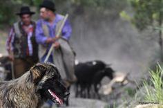 Olhares.com Fotografia   �Pinhas Pinheiro   o guardador de pastores e rebanhos...