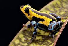 Arrow poison frog at Dutch rana