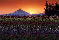 Washington State's Skagit Valley Tulip Festival with Mount Baker in background