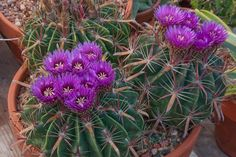 matucana aureiflora - Pesquisa Google