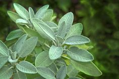 Whether you're looking for an ornamental for your garden or an herb to improve your kitchen, you should consider growing sage. Rodent Repellent Plants, Herbal Tea Garden, Sage Plant, Salvia, Best Herbs To Grow, Hardy Perennials, Tea Garden, Growing Herbs Indoors, Plants