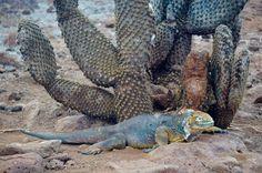 Iguane sur l'île de South Plaza, îles Galapagos / Iguana on South Plaza island, Galapagos