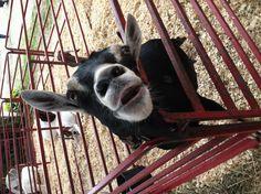 My favorite goat at the Skowhegan State Fair.