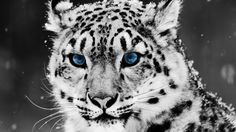 Pin Schneeleopard Hd Wallpaper Kostenlos 1366×768 On Pinterest