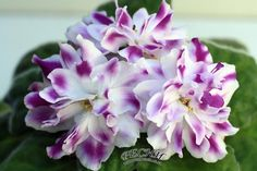 African Violet RS Babilon Plug Plant Ukrainian Variety | eBay repin & like. check out Noelito Flow music. Noel. Thanks https://www.twitter.com/noelitoflow https://www.youtube.com/user/Noelitoflow