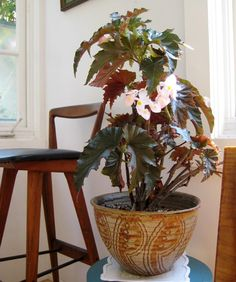 Great Indoor Plant:  BegoniasBegonia: There are over 1,500 varieties of this plant which can be found in dozens of colors. The flowers bloom year-round in an indoor environment and blossom up from green glossy leaves. These plants are easy to maintain and only need small doses of water.