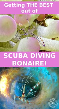 Getting THE BEST out of SCUBA DIVING BONAIRE! Bonaire is often awarded as the best shore dive destination in the Caribbean, let me tell you why this really is Divers Paradise. + 10 Bonaire shore dive tips & 10 Dive site recommendations! http://www.diveoclock.com/destinations/Caribbean/Bonaire/ scuba diving | underwater | ocean | sea life | diving | coral reef |  dive the world | scuba diver | dive instructor | underwater photography | duiken | tauchen | under the sea  | macro | Caribbean…