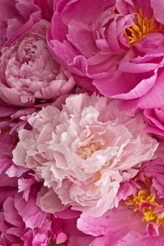 Pink Shades of Peony Delights