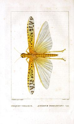 Cricket Voyageur from Dictionnaire Classique d'Histoire Naturelle (vol.5), 1822