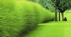 I keep seeing the most amazing photos of this type of hedge and I finally learned the name. Miscanthus produces showy copper colored ...