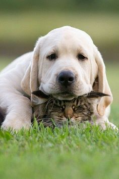 Don't you think the cat and the Labrador retriever look super cute? The Labrador's temperament can be easily understood by looking at this picture. There is more to the Labrador's personality then you might know. Animals And Pets, Baby Animals, Funny Animals, Cute Animals, Wild Animals, Cute Puppies, Cute Dogs, Dogs And Puppies, Doggies