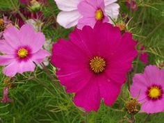The bipinnate leaves of Cosmos flowers interlock with those of nearby Cosmos to keep each other upright during strong winds. The flower essence of Cosmos encourages authentic self-expression by helping you open and align your heart and throat energies more fully.