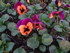 Pansy Inspire Purple and Orange