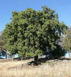 Native Australian Kurrajong Tree (Bottle Tree, Brachychiton populneus) - edible, useful, hardy