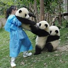 remedy-for-a-broken-heart-x-dea said: Can you do a panda thread? Answer: Here you go 😊 Enjoy ❤️ source panda_lover_ig Cute Little Animals, Cute Funny Animals, Cute Dogs, Panda Funny, Cute Panda, Panda Panda, Fluffy Animals, Animals And Pets, Baby Panda Bears