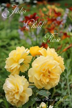 Julia Child rose - my favorite - I have 5 of them