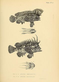 Fish illustrations from The Zoology of the voyage of H.M.S. Samarang, 1843-1846