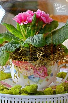 Primroses, I had almost forgotten them. So sweet! ~ Mary Wald's Place - Primroses under a Glass Cloche Spring Plants, Spring Flowers, Spring Home, Spring Day, Container Plants, Container Gardening, Love Flowers, Beautiful Flowers, Beautiful Gardens