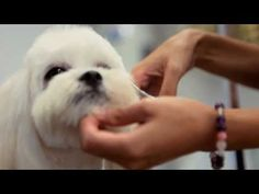 Maltese Shih Tzu :: Pomeranian :: Fine Dog Grooming Salon - YouTube