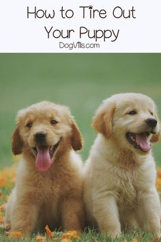Unlike us pet parent Unlike us pet parents puppies seem to have an endless supply of energy! Need a break from your pups adorable antics? Check out these 6 surefire ways to tire out your puppy! Dog Training Classes, Dog Training Tips, Dog Games, Dog Mom, Dog Baby, Dog Owners, Doge, Pet Care, Best Dogs
