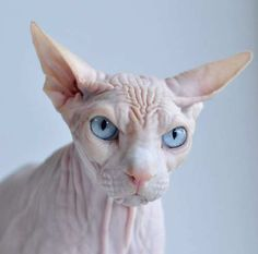 ugly cat sphynx 2 The Five Ugliest Cat Breeds In The World Gato Sphinx, Sphynx Gato, Chat Sphynx, Grumpy Cat, Chat Oriental, Cute Cats, Funny Cats, Bizarre Animals, Kitty Cats