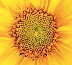 The golden ratio in our world: 20 surprising photos that show the power of Fibonacci numbers
