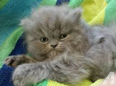 doll faced persian - Google Search