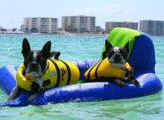 Two Boston terriers enjoying Crab Island near Destin. #SunshineStateofMind