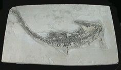 "Mesosaurus brasiliensis (complete specimen on matrix) - 14.56"" (37 cm) x 8.07"" (20.5 cm) matrix - Permian Period : 298.9 ± 0.2 Ma - 252.2 ± 0.5 Ma (million years ago) - Irati Formation ( a geological formation of Brazil) - São Paulo, Brazil"
