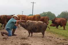 Move Over Rover...There's a new twist to herding cattle in South Texas—a twisted tail, that is, which belongs to a feral hog with an identity crisis. Squeaky, the not-so-feral cow pig...Veara raised Squeaky from a piglet. Squeaky showed a knack for herding cattle early in life. land is owned by baseball great Nolan Ryan.  China Grove Ranch near Bonney, TX