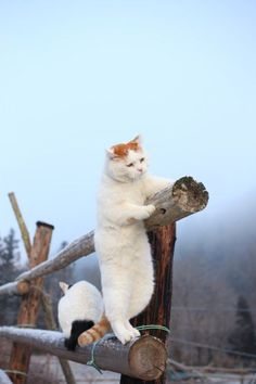 """* * WHITE & ORANGE CAT: """" Okey, if yer gonna be dat way; I iz gonna walk to de end of this post and jump."""" WHITE & BLACK CAT: """" Be me guest, it's only a foot down to de ground."""""""