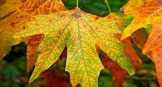 Kireçlenmeye çınar yaprağı kürü