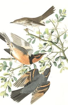 Mountain Mocking bird and Varied Thrush   John James Audubon's Birds of America