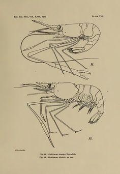 Notes on Crustacea Decapoda in the Indian Museum XV. Pontoniinae - BioStor